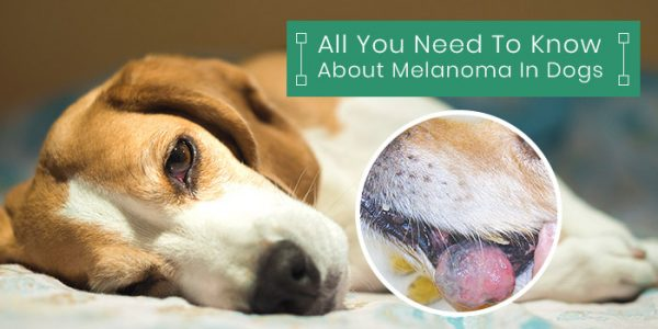 All you need to know about Melonama in dogs