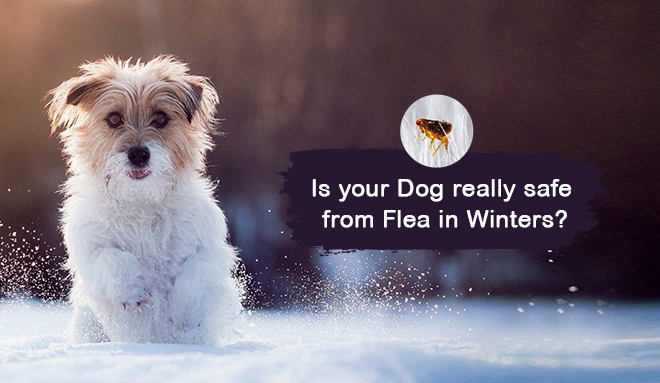 Is Your Dog Really Safe From Fleas In Winter?
